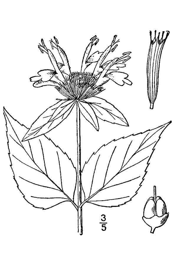 Image of purple bergamot