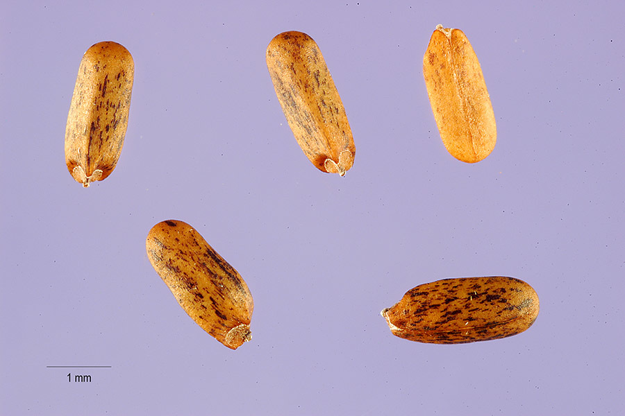 Image of pale monardella