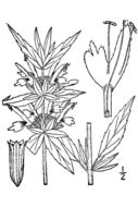 Image of spotted beebalm