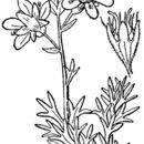 Image of tufted alpine saxifrage