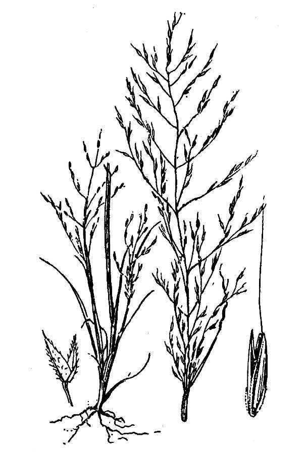 Image of gravelbar muhly