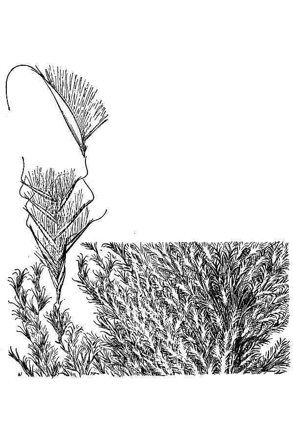 Image of silkreed