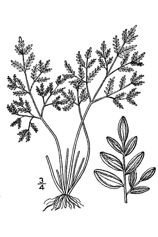 Image of powdery false cloak fern