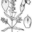Image of red bartsia