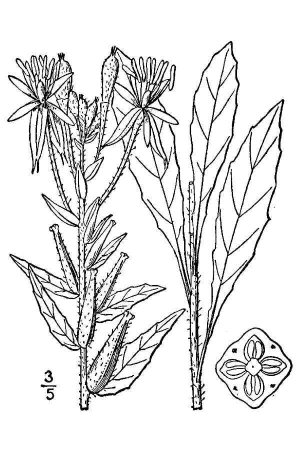 Image of plains evening primrose