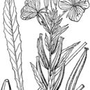 Image of Oakes' evening primrose