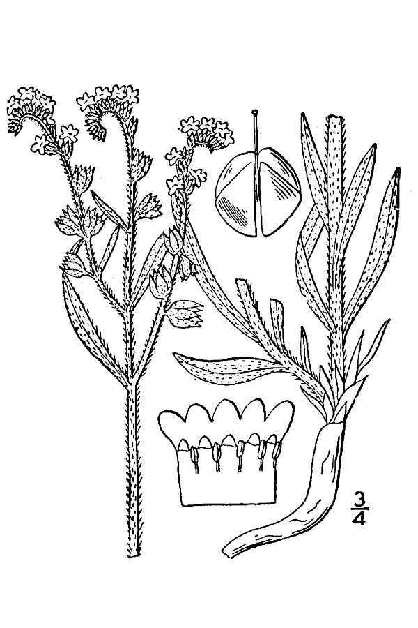 Image of James' cryptantha