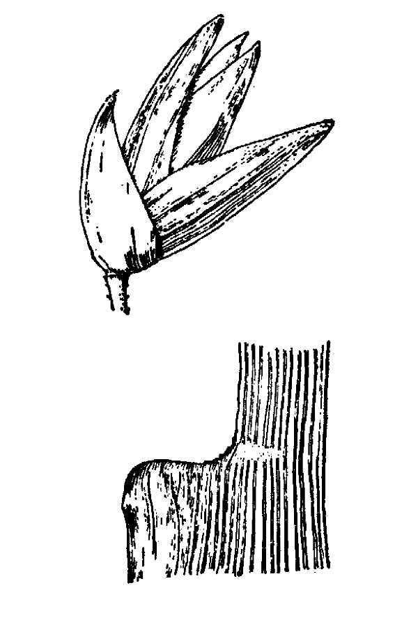Image of cutthroat grass