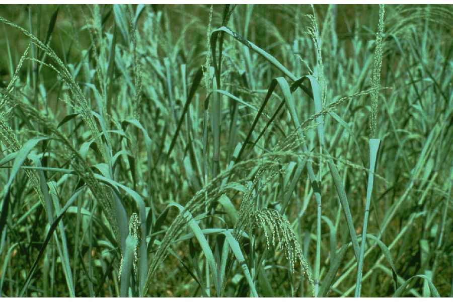 Image of bitter panicgrass