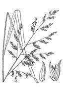 Image of beaked panicgrass