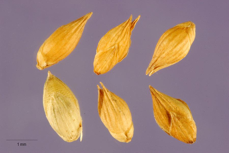 Image of Berg's panicgrass