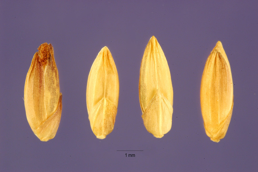 Image of bulb panicgrass