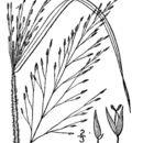 صورة <i>Panicum flexile</i> (Gatt.) Scribn.