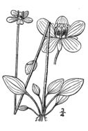 Image of smallflower grass of Parnassus