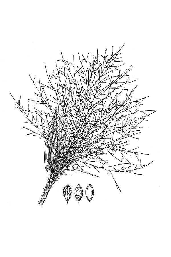 Image of tropical panicgrass
