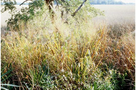 Image of old switch panic grass