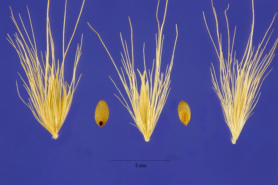 Image of flaccidgrass
