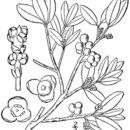 Image of oak mistletoe