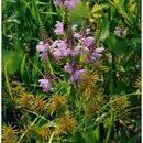 Image of obedient plant