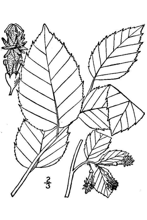 Image of <i>Planera aquatica</i> J. F. Gmel.
