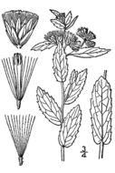 Image of stinking camphorweed
