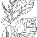Image of Japanese knotweed