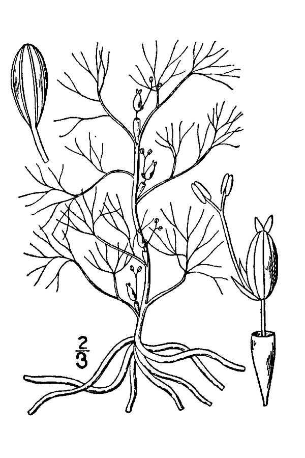 Image of hornleaf riverweed