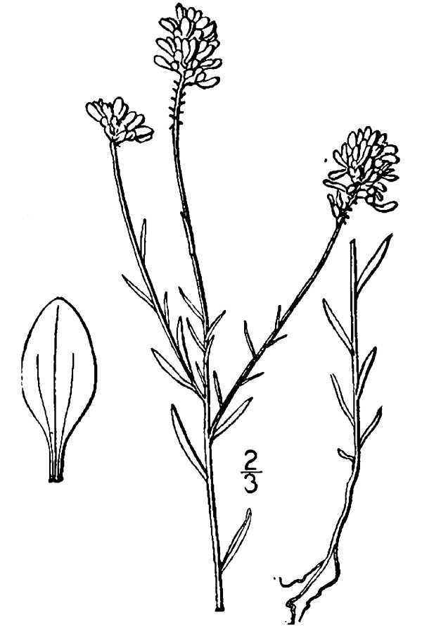 Image of Curtiss' milkwort