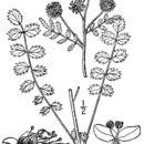 Image of small burnet
