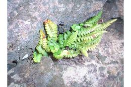 Image of mountain hollyfern