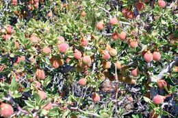 Image of desert peach