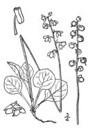 Image of snowline wintergreen