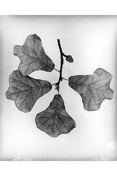 Image of Blackjack Oak