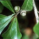 Image of Water Oak