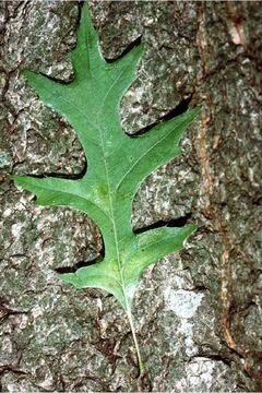 Image of Nuttall Oak