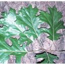 Image of Shumard Oak