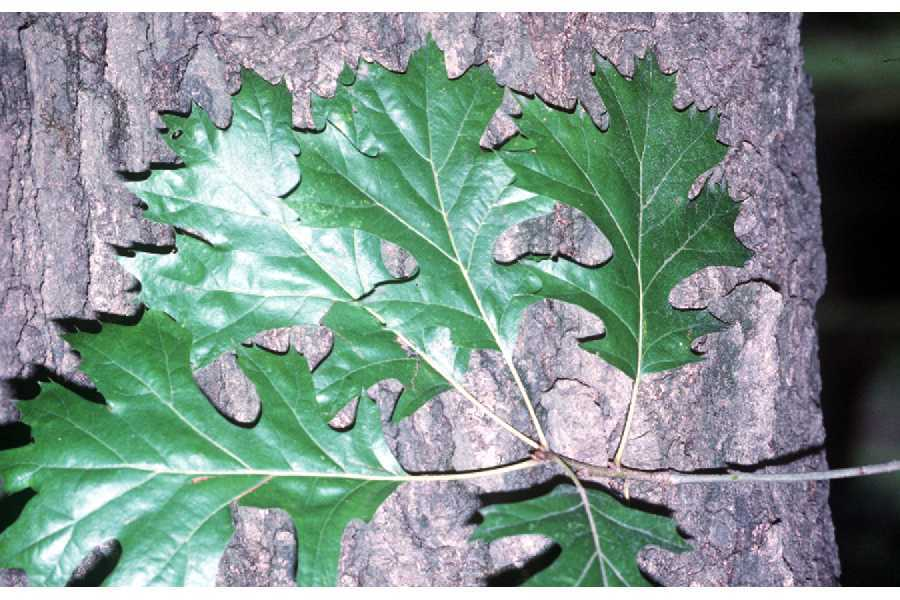 Image of shumard oak