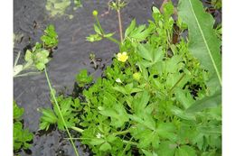 Image of Macoun's buttercup