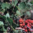 Image of skunkbush sumac