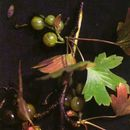 Image of gooseberries
