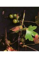 Image of whitestem gooseberry