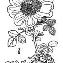 Image of Macartney rose