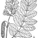 Image of <i>Robinia viscosa</i> Vent.