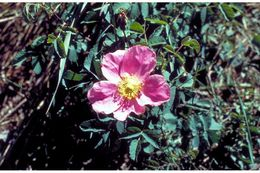 Image of Woods' rose