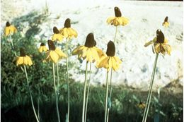 Image of great coneflower
