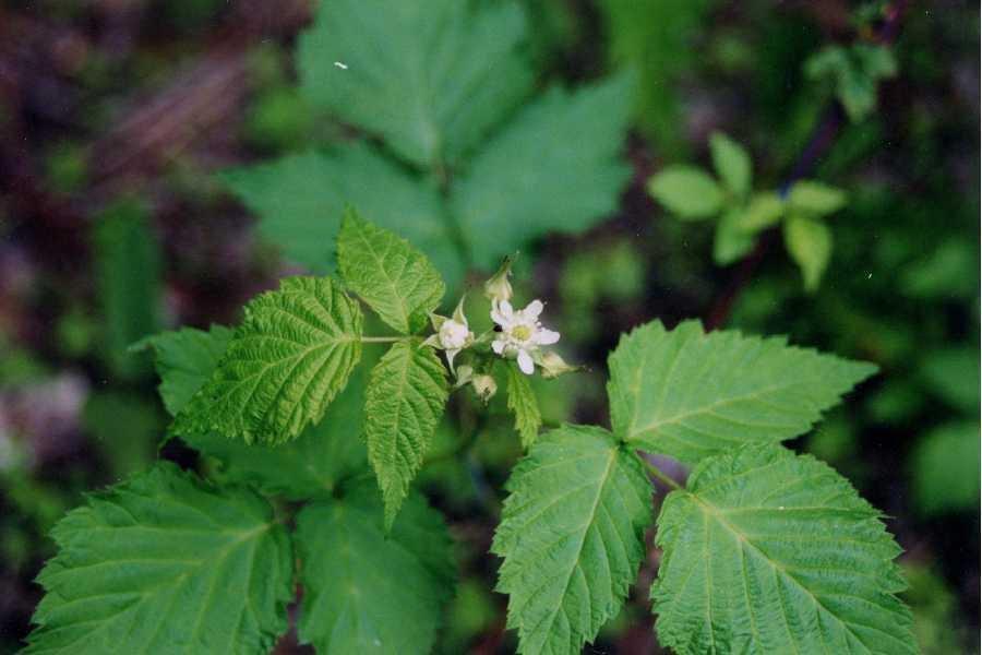 Image of black raspberry