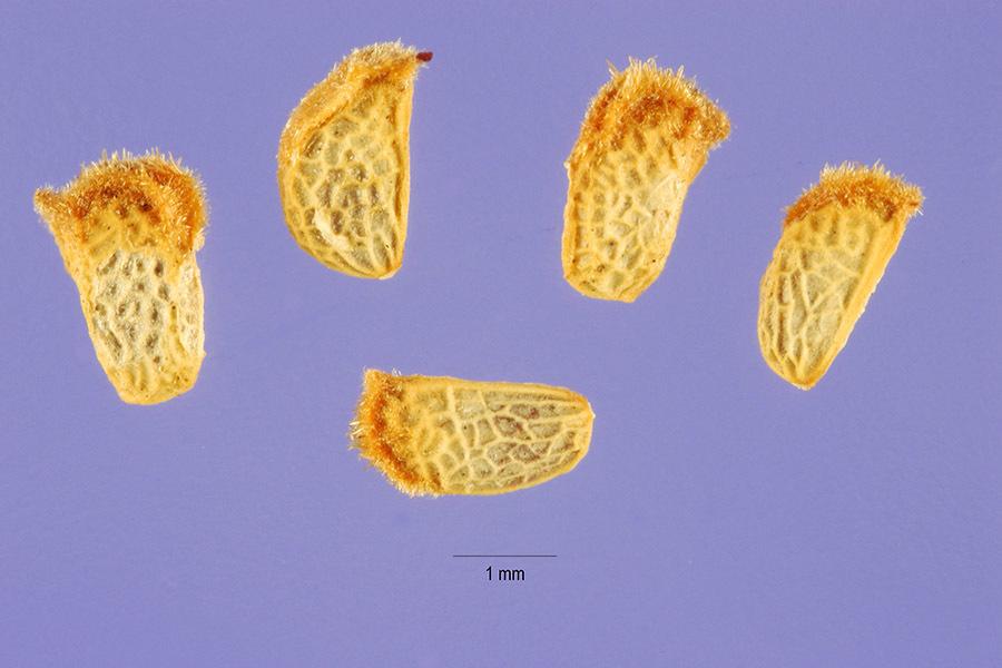 Image of American bramble
