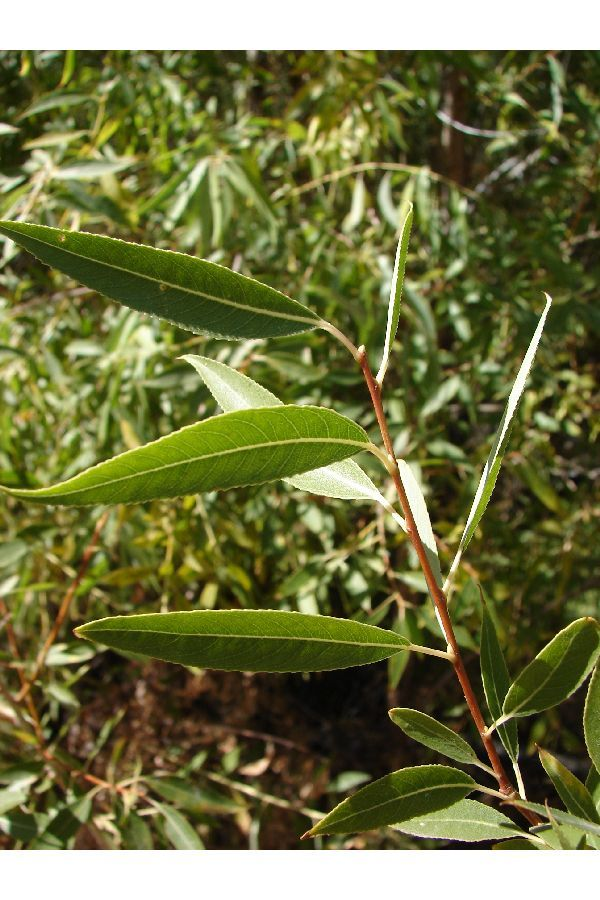 Image of peachleaf willow