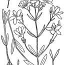 Image of narrowleaf rose gentian