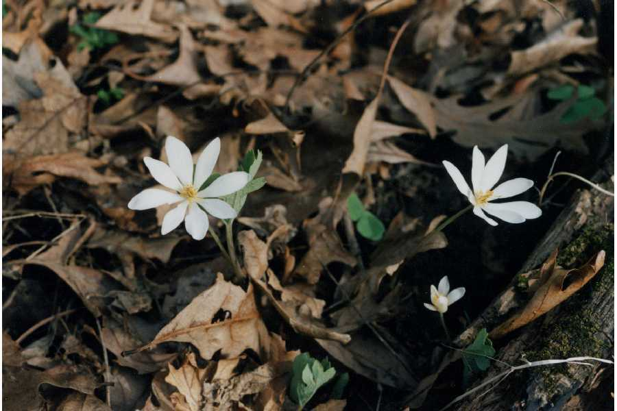 Image of Bloodroot